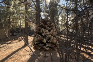 DIY pine cone bird feeder